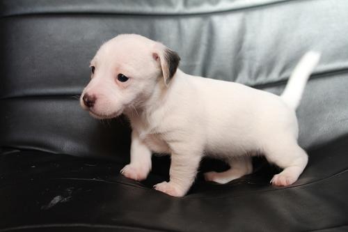 Chiots femelles et male jack russell terrier LOF _copie25