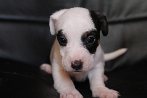 Chiots femelles et male jack russell terrier LOF _copie26
