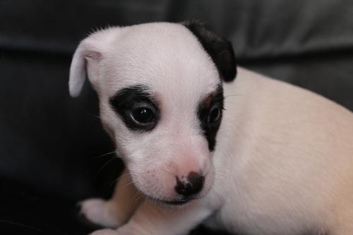 Chiots femelles et male jack russell terrier LOF _copie28