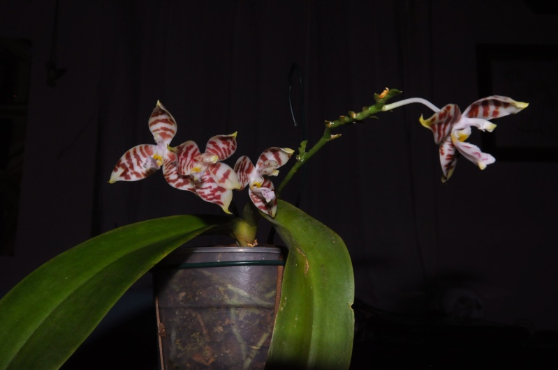 phalaenopsis amboinensis Dsc_4526