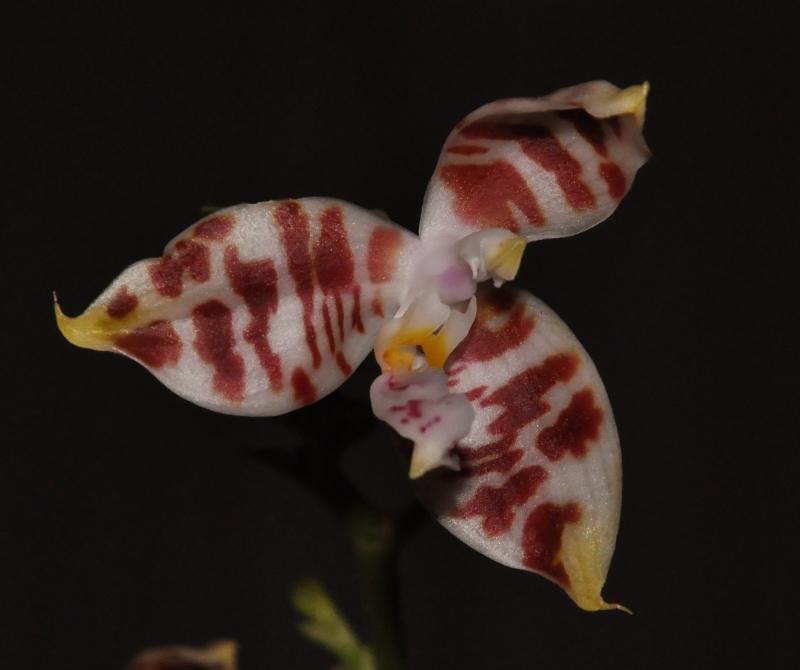 phalaenopsis amboinensis Dsc_4610