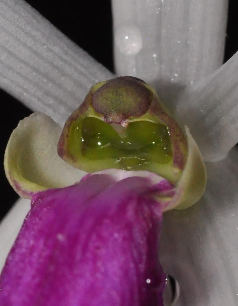 leptote bicolor Leptot12