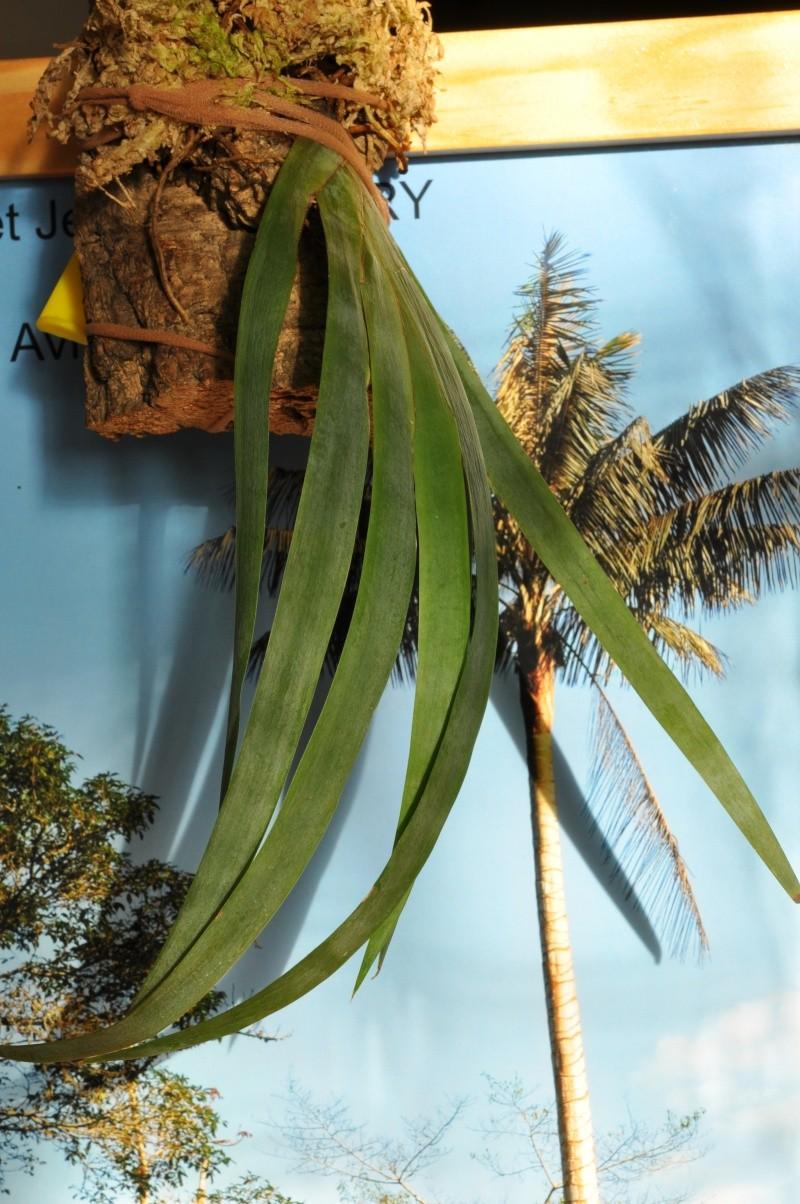 Maxillaria valenzuelana Maxill10