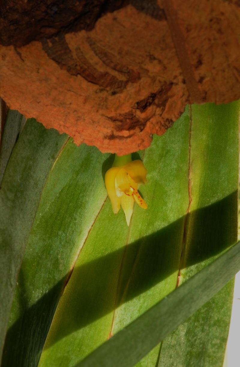 Maxillaria valenzuelana Maxill11
