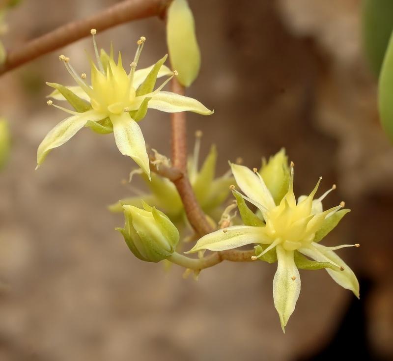 Sedum allantoides Sedum_15