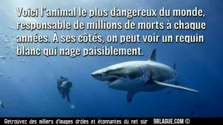 l'animal le plus dangereux au monde Requin10