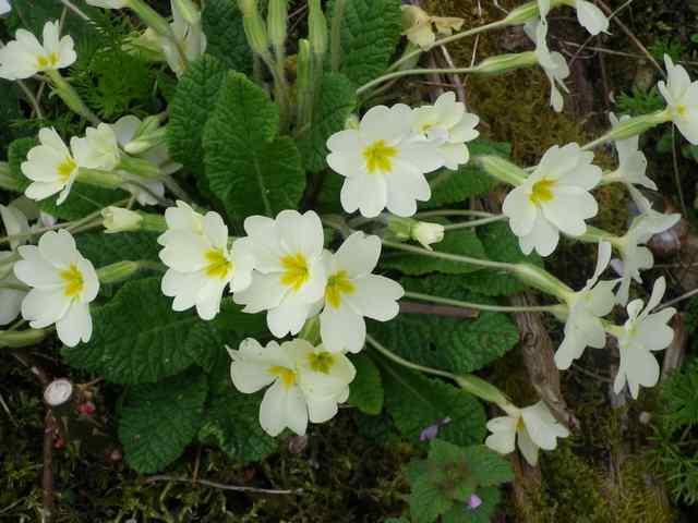 Primula..........aimez-vous les coucous ??? - Page 2 18032014