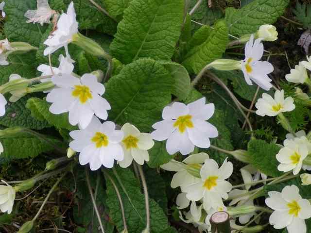 Primula..........aimez-vous les coucous ??? - Page 2 18032015