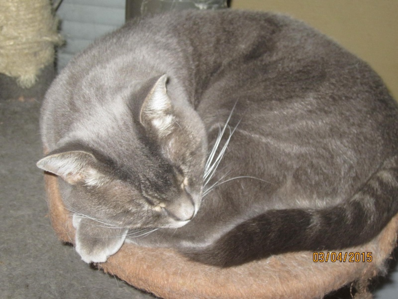 Freluge - grise tabby - Née en 2009, FIV + Img_2331