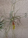 Tillandsia schiedeana P1100111