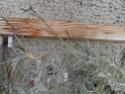 Tillandsia caerulea P1100130