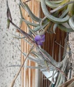 Tillandsia caerulea P1100131