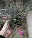 Quelques Tillandsia Aeranthos en fleurs P1100226