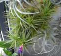 Quelques Tillandsia Aeranthos en fleurs P1100311