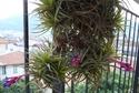 Quelques Tillandsia Aeranthos en fleurs P1100312