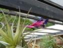 Quelques Tillandsia Aeranthos en fleurs P1100313