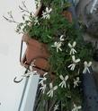 Pelargonium odorant anonyme P1100315