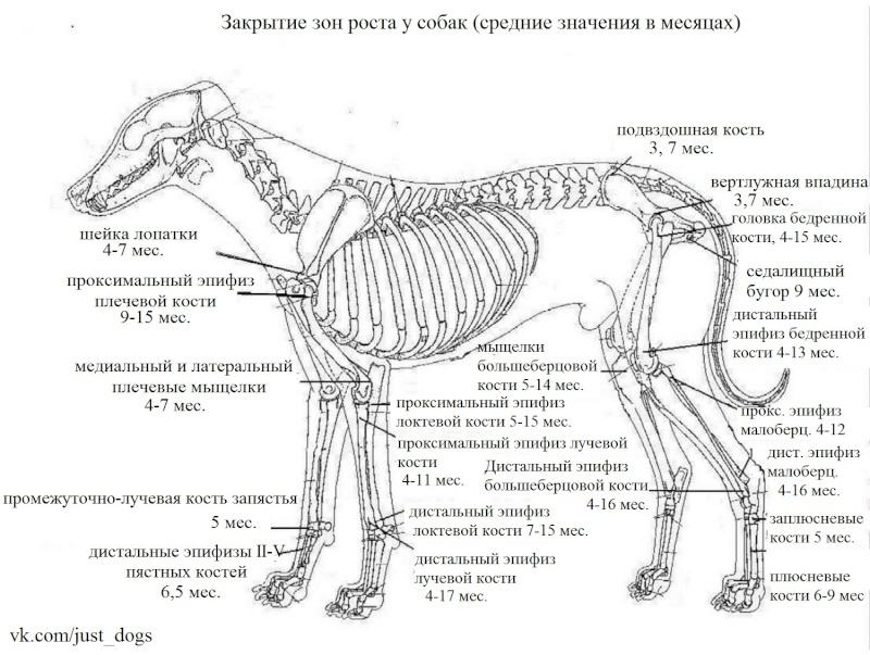 слабые суставы - Слабые пясти, связки и скакательные суставы у собак 10265410