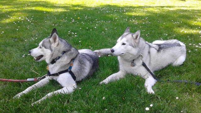 [Scrapbook] Link the Siberian Husky - Page 20 20150513