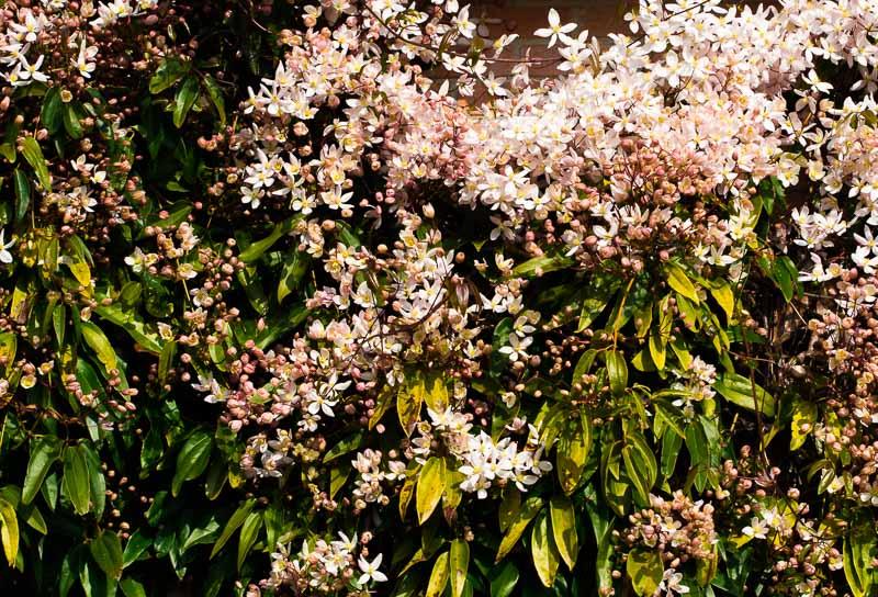 Cornus florida Clemat10