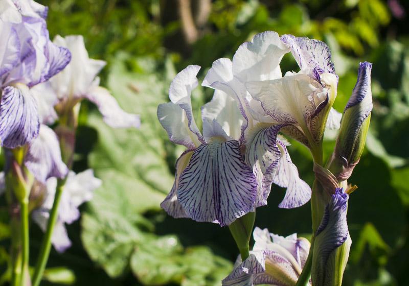Iris 2015 Iris_e10
