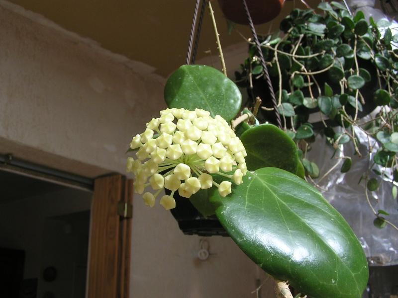 Nouvelles floraisons de Hoyas : CV BANGKOK, MACGREGORII Cv_ban11