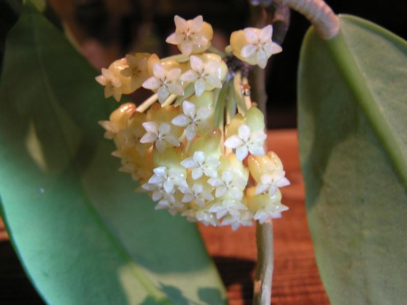 Nouvelles floraisons de Hoyas : CV BANGKOK, MACGREGORII Macgre10