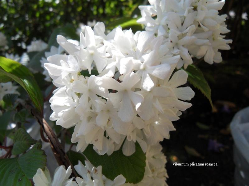 viburnum plicatum rosacea 01-sdc10