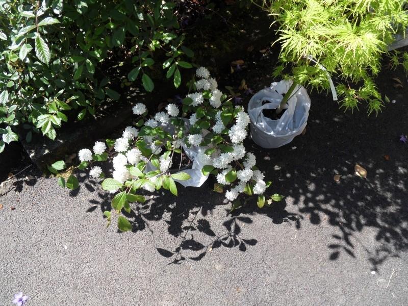 viburnum plicatum rosacea 03-sdc10