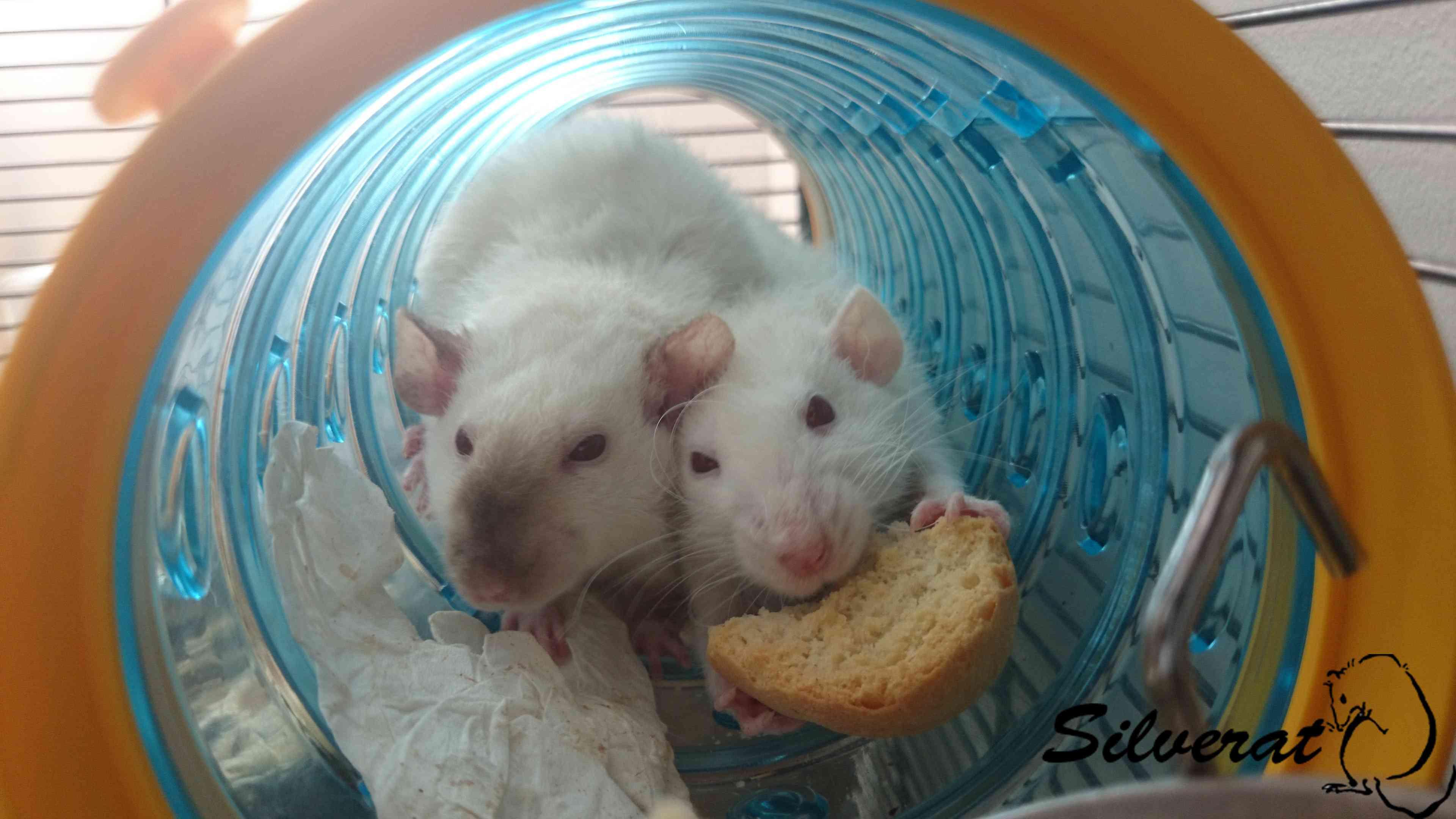 La cage des ratounes Dsc_2316