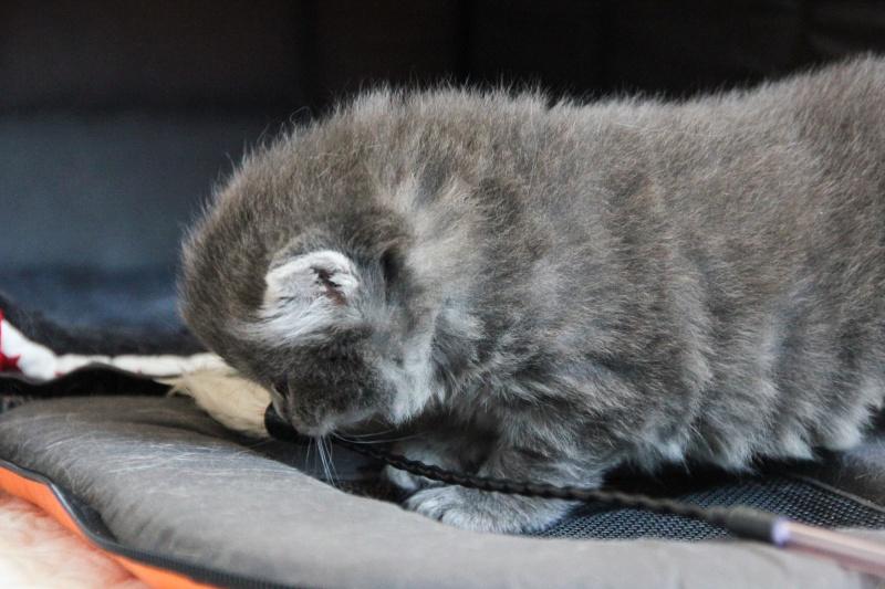 Lucky, mâle type européen gris né 16 mars 2015 Img_1122