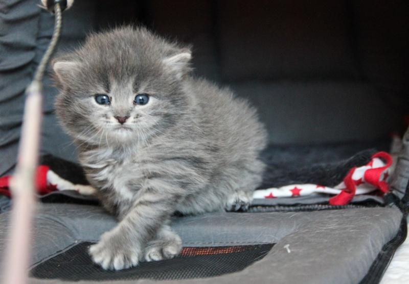 Lucky, mâle type européen gris né 16 mars 2015 Img_1130