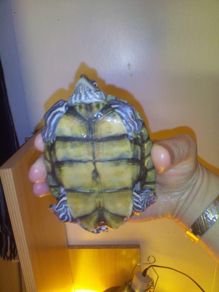 Débutant avec une petite tortue malheureuse :(  11099910
