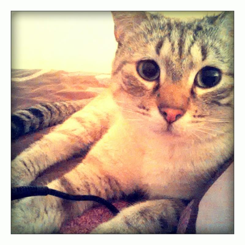FACIL (chaton mâle typé siamois) Img_2012