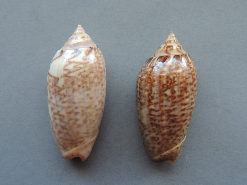 Americoliva spicata spicata (Röding, 1798) - Worms = Oliva spicata (Röding, 1798) Dscn2215