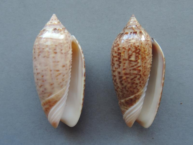 Americoliva spicata spicata (Röding, 1798) - Worms = Oliva spicata (Röding, 1798) Dscn2216