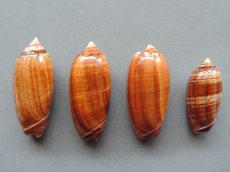 Americoliva bifasciata f. pattersoni (Clench, 1945) voir Americoliva bifasciata - Küster, 1878 Dscn2217