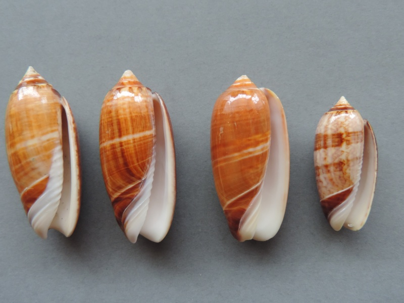 Americoliva bifasciata f. pattersoni (Clench, 1945) voir Americoliva bifasciata - Küster, 1878 Dscn2218