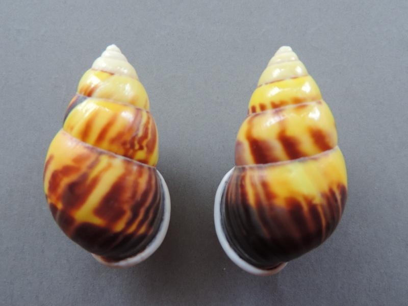 Amphidromus perversus solemi (Abbas & Krull, 2009) Dscn2241
