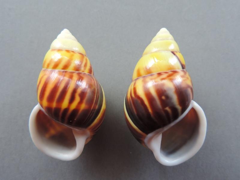 Amphidromus perversus solemi (Abbas & Krull, 2009) Dscn2242