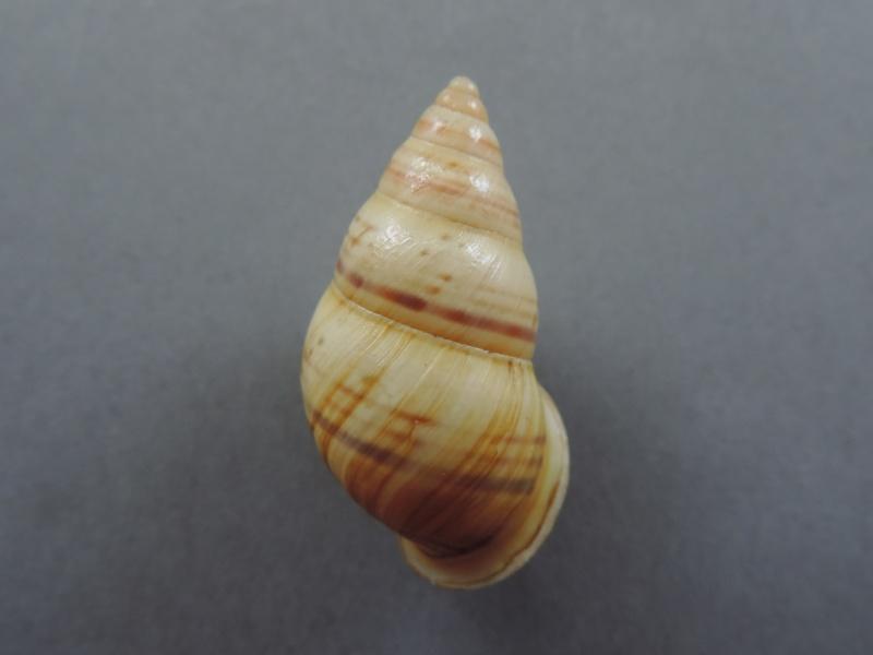 Amphidromus kruitji (P & F. Sarasin, 1899) Dscn2243