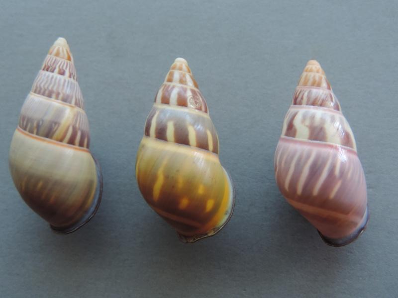 Amphidromus quadrasi versicolor (Fulton, 1896) Dscn2265