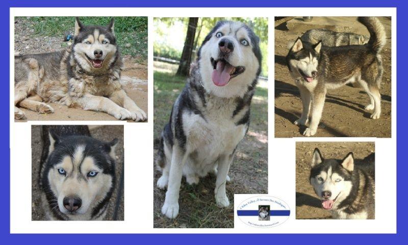 Togo, husky gris né le 25 Octobre 2002 ASSO39 - Page 3 Captur14