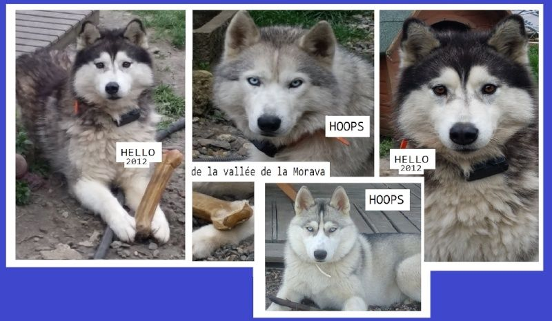 HELLO et HOOPS 2 femelles huskies 3 ans PART03 ADOPTEES Captur24