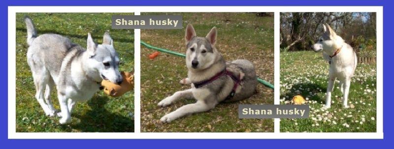 Shana husky 11 mois... de la souffrance à la delivrance ASSO24 - Page 2 Captur41