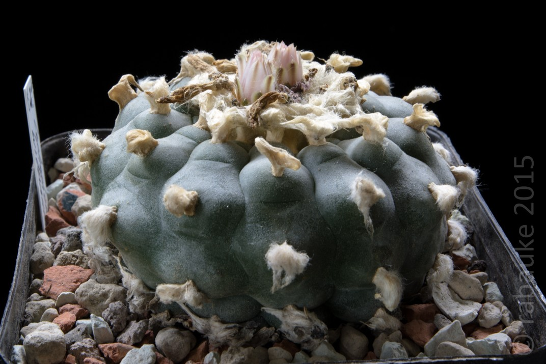 Lophophora williamsii var. williamsii Dsc_0152