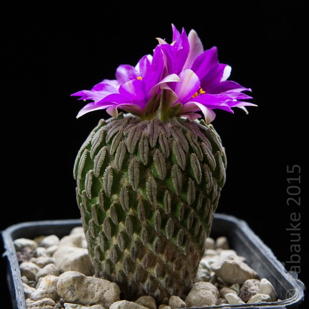 Pelecyphora aselliformis Dsc_0154