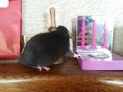 mes ratounes <3  Ladybird EDIT 31 juillet: 3 puces de + à la maison! 20150510
