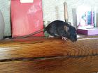 mes ratounes <3  Ladybird EDIT 31 juillet: 3 puces de + à la maison! 20150511