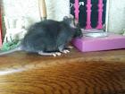 mes ratounes <3  Ladybird EDIT 31 juillet: 3 puces de + à la maison! 20150512
